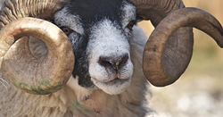 Tyranna ends sheep-trading over Jumbuck