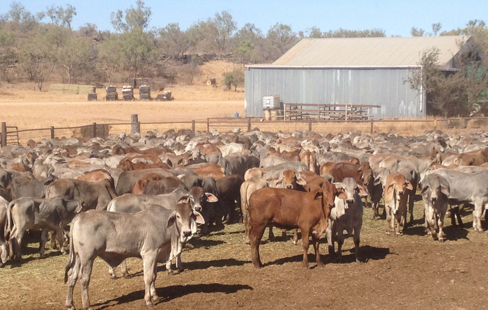 New Century 'mooves' out of cattle